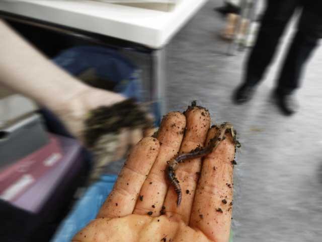 Anleitung: Wurmkiste selbst machen – der ausgewachsene Wurm
